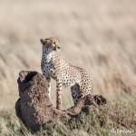 4976 Cheetah, Serengeti, Tanzania