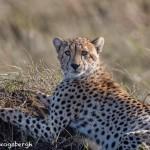 4977 Cheetah, Serengeti, Tanzania