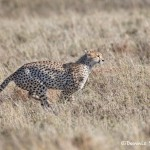 4978 Cheetah, Serengeti, Tanzania