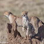 4979 Cheetah, Serengeti, Tanzania