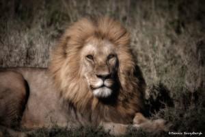 4981 Male Lion, Serengeti, Tanzania