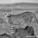 4982 Cheetah, Serengeti, Tanzania