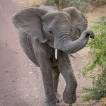 4984 Young Elephant, Ngorongoro Crater, Tanzania
