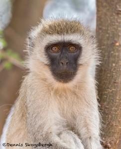 4986 Vervet Monkey (Chlorocebus pygerythrus), Tanzania