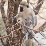 4988 Vervet Monkey Mother with Offspring, Tanzania