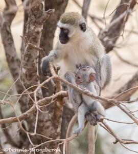 4988 Vervet Monkey Mother with Offspring, Tanzania