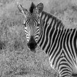 4989 Zebra, Tanzania
