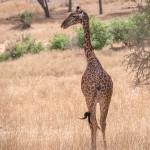 4990 Giraffe, Tanzania