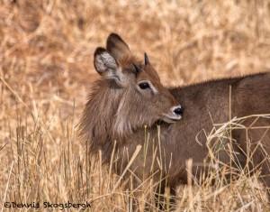 4991 Young Male Waterbuck, Tanzania