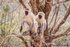 4992 Vervet Monkey Family, Tanzania