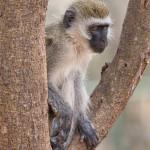4994 Vervet Monkey (Chlorocebus pygerythrus), Tanzania