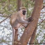 4995 Vervet Monkey (Chlorocebus pygerythrus), Tanzania copy