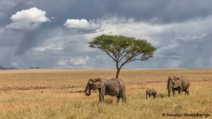 4997 African Elephants, Serengeti, Tanzania
