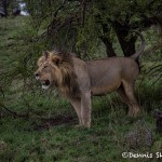 5000 Male Lion, Serengeti, Tanzania