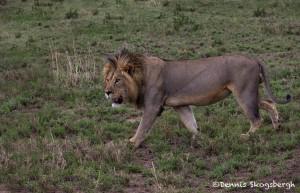 5001 Male Lion, Serengeti, Tanzania