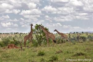5003 Giraffes, Serengeti, Tanzania