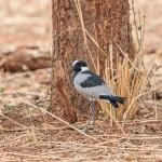 5006 Blacksmith Plover (Vanellus armatus), Tanzania