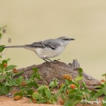 5008 Northern Mockingbird, (Mimus polyglottos), South Texas
