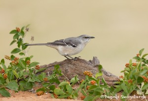 5008 Northern Mockingbird, (Mimus polyglottos), South Texas