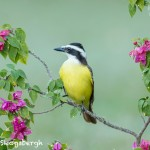 5010 Great Kiskadee (Pitangus sulphuratus), South Texas