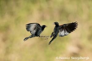 5012 Red-winged Blackbird (Agelaius phoeniceus), South Texas