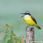 5013 Great Kiskadee (Pitangus sulphuratus), South Texas