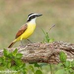 5015 Great Kiskadee (Pitangus sulphuratus), South Texas