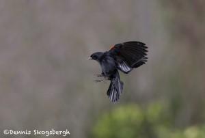 5018 Red-winged Blackbird (Agelaius phoeniceus), South Texas