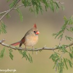 5019 Female Northern Cardinal (Cardinalis cardinalis), South Texas