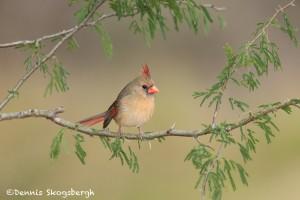 5019 Female Northern Cardinal (Cardinalis cardinalis), South Texas