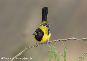 5021 Audubon's Oriole (Icterus graduacauda), South Texas