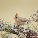 5022 Female Northern Cardinal (Cardinalis cardinalis), South Texas