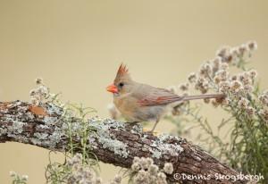 5022 Female Northern Cardinal (Cardinalis cardinalis), South Texas