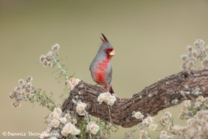5025 Pyrrhuloxia (Cardinalis sinuatus), South Texas