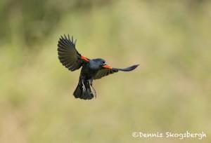 5027 Red-winged Blackbird (Agelaius phoeniceus), South Texas