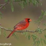 5030 Male Northern Cardinal (Cardinalis cardinalis), South Texas