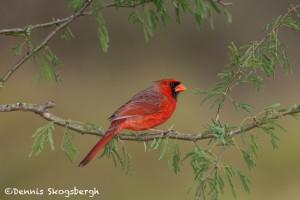 5030 Male Northern Cardinal (Cardinalis cardinalis), South Texas