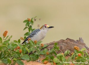 5031 Male Golden-fronted Woodpecker (Melanerpes aurifrons), South Texas
