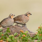 5032 Bobwhite Quail (Colinus virginianus), South Texas