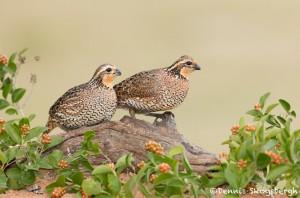 5032 Bobwhite Quail (Colinus virginianus), South Texas