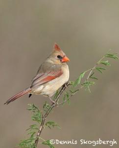 5033 Female Northern Cardinal (Cardinalis cardinalis), South Texas