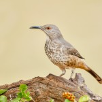 5034 Curve-billed Thrasher (Toxostoma curvirostre), South Texas