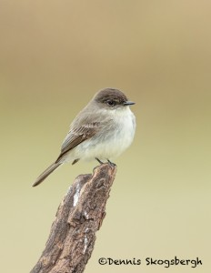 5038 Eastern Phoebe (Sayornis phoebe), South Texas