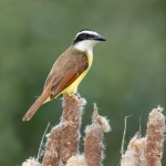 5039 Great Kiskadee (Pitangus sulphuratus), South Texas