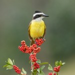 5040 Great Kiskadee (Pitangus sulphuratus), South Texas