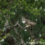 5042 Great Horned Owl (Bubo virginianus), South Texas