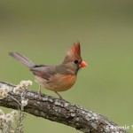 5044 Female Northern Cardinal (Cardinalis cardinalis), South Texas