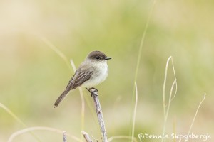 5046 Eastern Phoebe (Sayornis phoebe), South Texas