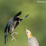 5047 Red-winged Blackbird and Golden-fronted Woodpecker, South Texas