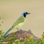 5049 Green Jay (Cyanocorax yncas), South Texas